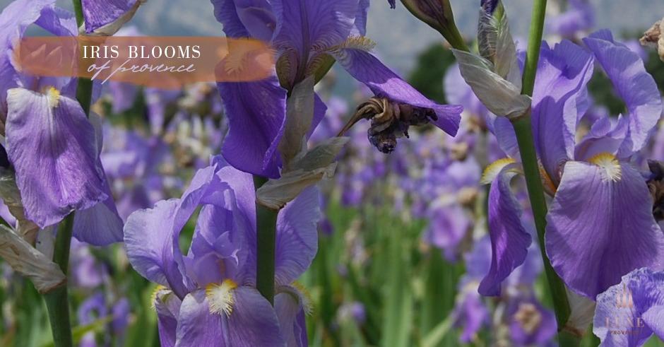 iris-blooms2