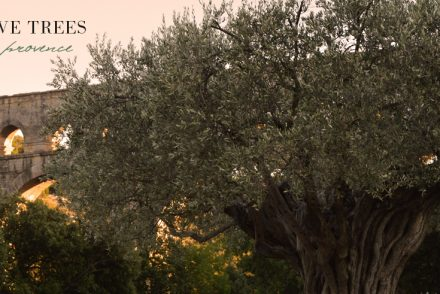 olive-trees-provence