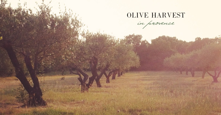 provence-olive-trees