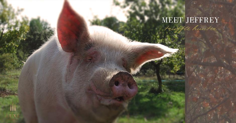truffle-hunting-pig