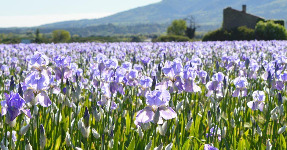 luxe provence box iris fragrance perfume blooms