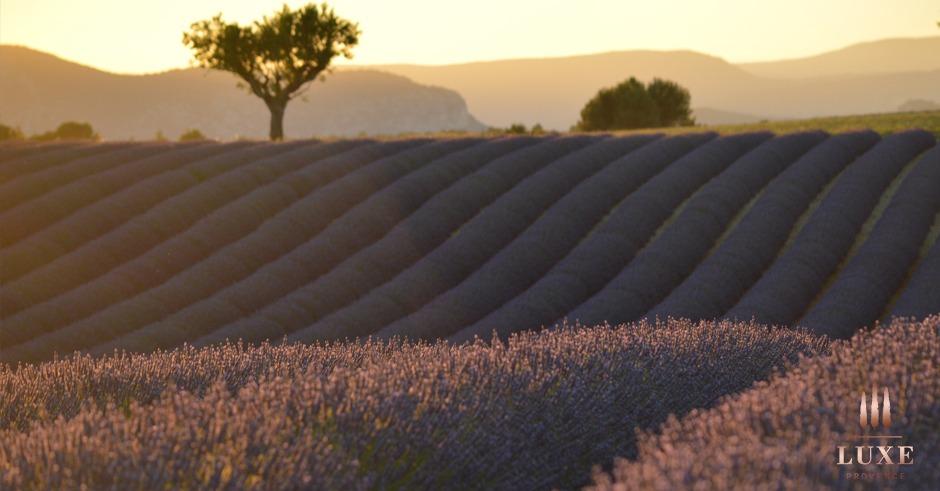 lavender fields in provence, plateau de valensole