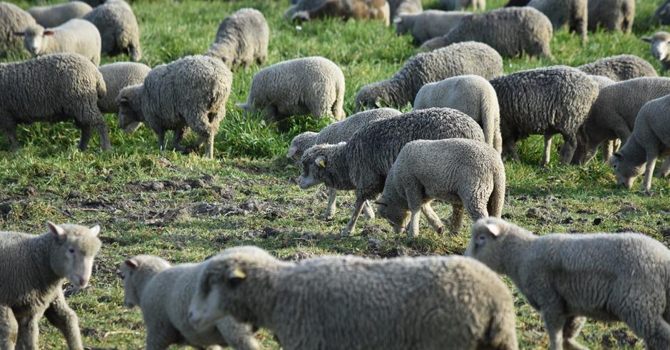 sheep-wool-of-provence-merino