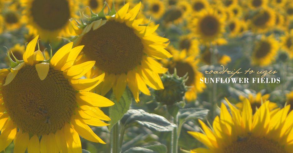 sunflowers of provence, uzes